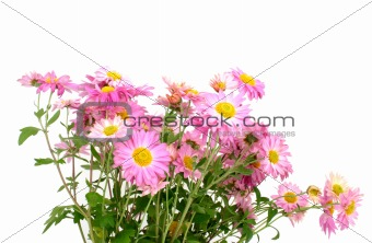 chrysanthemums on white