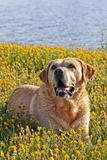 Labrador in the flower field