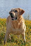 Labrador in the flower field
