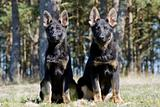 two Germany sheep-dog black puppies sitting on the grass