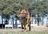 Germany Sheep-dog running with stick