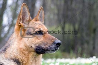 beautiful young germany sheep-dog portrait