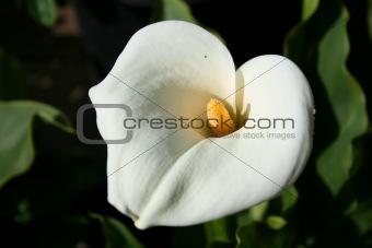 Cala Lily Flower