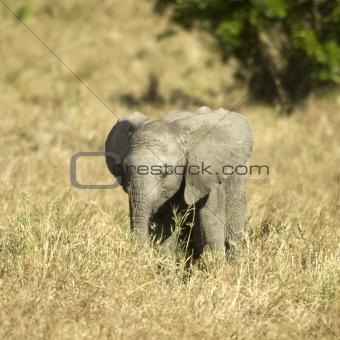 African Elephant Masai mara Kenya
