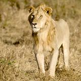 Lion Masai mara Kenya