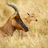 young Topi Masai mara Kenya