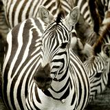 Herd of zebra at Masai mara Kenya