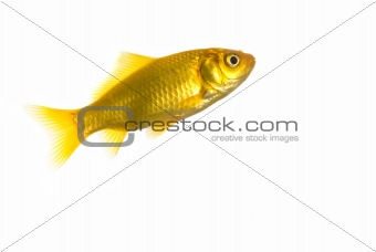 Fish, isolated over white