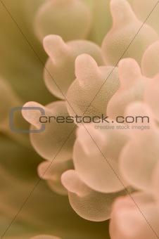 anemone - Entacmaea quadricolor