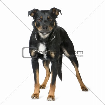 Crossbreed Beauceron (18 months)
