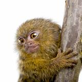 Pygmy Marmoset (5 weeks) - Callithrix (Cebuella) pygmaea