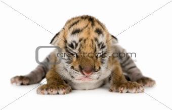 Tiger cub (4 days)