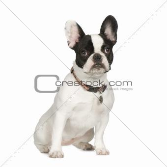 French Bulldog (8 months)