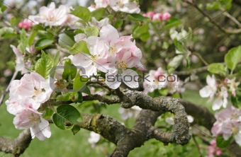 old apple tree blossoming