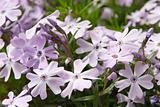 flowering Creeping Phlox (Phlox subulata)