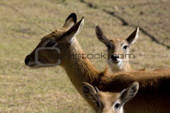 3 Deers