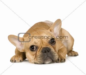 French Bulldog (7 months)