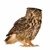 Eurasian Eagle Owl - Bubo bubo (22 months)
