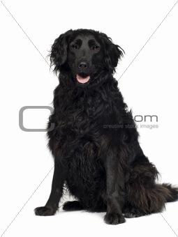 Crossbreed Labrador (3 years)