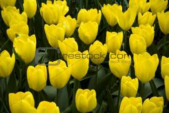 Fosteriana Tulip Yellow Empress