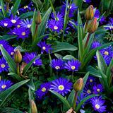 Anemone Blanda Gemengd flowers