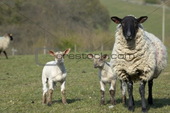 Yew and Lambs