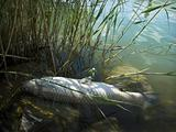 Dead fish (grass carp - Ctenopharyngodon idella) on the lake