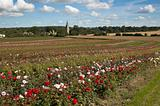 Rose fields