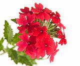 red garden verbena