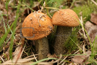 Two orange cap boletes