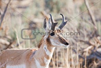 antelope in the wild