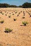 vine plant field