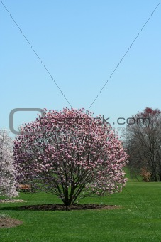 Blooming trees in a park
