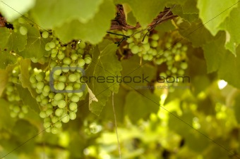 Green grapes in a wineyard