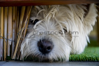 Little terrier under bannister