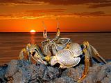 Ghost crab on rocks