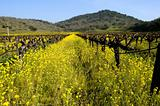 Mustard Between the Vines