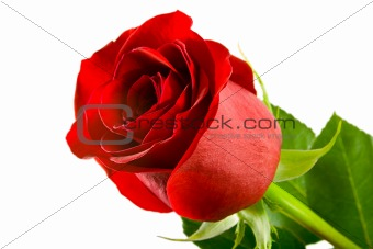 A Single red rose,Isolated On  white background.