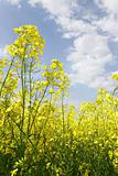 yellow flled flowers on blue sky background