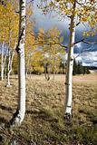 Birches Forest