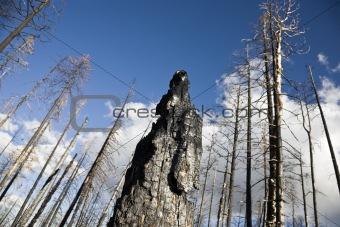 After Forest Fire Arizona USA (LX)