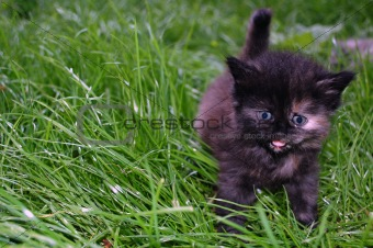 grey kitten in grass