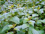 Stinging Nettles (Urtica dioica)