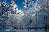 snow-bound trees