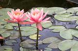 Water lilies (BI)