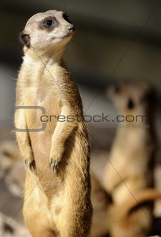 Slender-tailed suricate