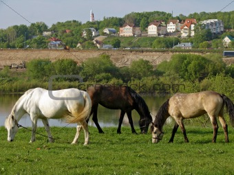 grazing mares