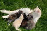mother cat feeding her kittens