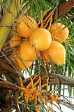 Ripe Coconut Palm