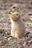 Prairie dog (KS)